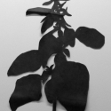 05 Amaranth v.1 (small)