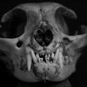 13 Skull (feline)