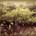33 Guardian Mythic Mangrove Spirit