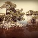 37 Two Mangroves